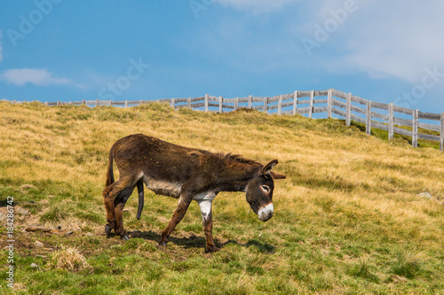 A donkey stands on green meadow with an erection, with long thick dark brown penis Esel mit Errektion