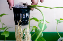 Hand Holding Up A Net Pot With Coco Coir Medium With The Roots And The Stem Of Hte Plant Hanging Down. Hydroponics Is The New Science Innovation Of Growing Plants To Maximize Their Yeild And Taste
