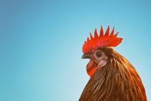 Chicken Head Side View On Blue...