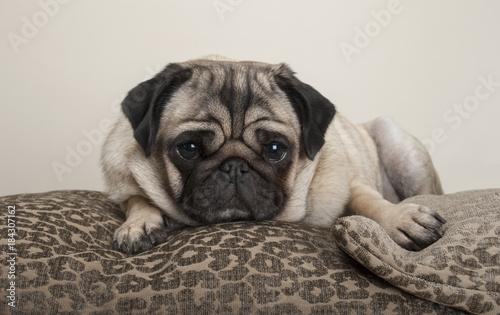 Fototapeta lovely sweet pug puppy dog, lying down on cushions, with leopard print obraz na płótnie