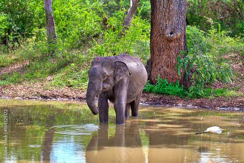 Ein Indischer Elefant mit einem fliegenden Reiher im Vordergrund steht in einem Teich im Nationalpark Yala auf der tropischen Insel Sri Lanka im Indischen Ozean bei einer Jeep Safari Tour