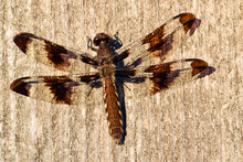 Twelve Spotted Dragonfly