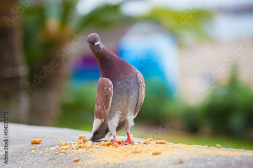 Single pigeon looking funny wondering, on the coast of Tenerife, Spain