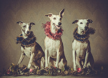 Three Whippet Dogs In The Wrea...