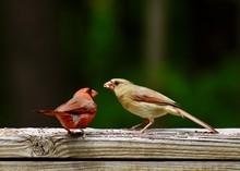 Male Cardinal Feeding Baby