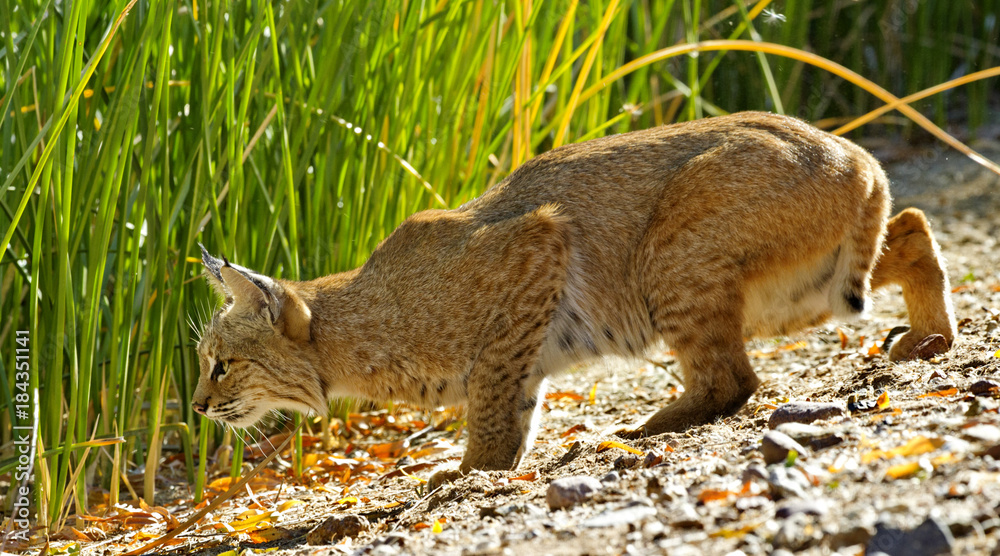 Fototapeta Bobcat drops lower to prepare to pounce