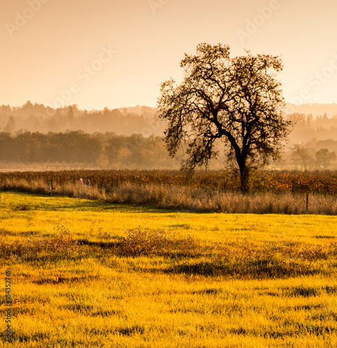 Honey A late afternoon scene in autumn. A greenish area of short grasses are in foreground. A single oak tree stands to the right in a vineyard. Hills with trees shrouded in fog are in the background.