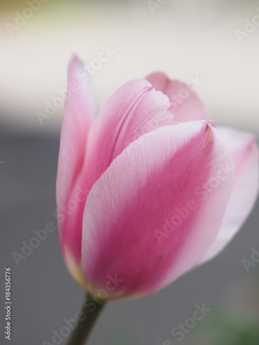 Garden Poster Lotus flower Tulip