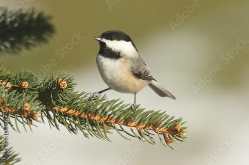 Sticker - Black-capped Chickadee (poecile atricapilla)