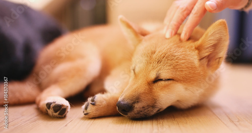 Photographie Pet owner caress on little puppy shiba inu dog
