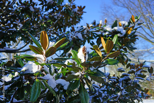 White Snow On A Southern Magnolia Tree Leaves After A Snowstorm