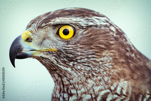 goshawk close up Tablou Canvas