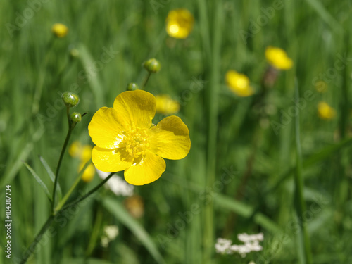 Yellow ranunculus acris or meadow buttercup flower with green Canvas Print