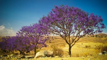Alley Of Jacaranda Trees At Fi...