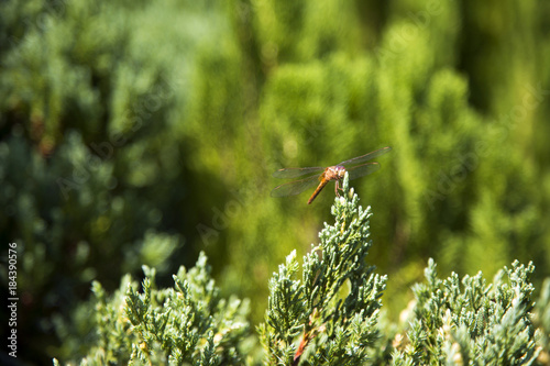 dragonfly insect on top of pine tree