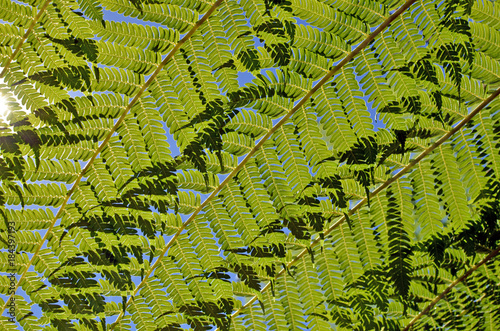 Close up of back lit overlapping tree fern fronds against a blue sky with sunlight shining through. Greenery background. Selective focus.