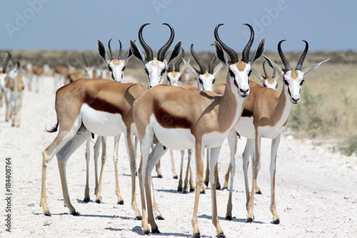 Wall Murals Antelope Gruppe von Springböcken.Where: Etosha-Nationalpark.