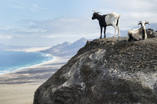 Goats In Playa Cofete, Fuertev...