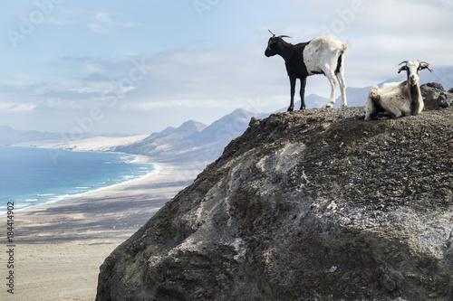 Fotobehang Canarische Eilanden Goats in Playa Cofete, Fuertevenutra