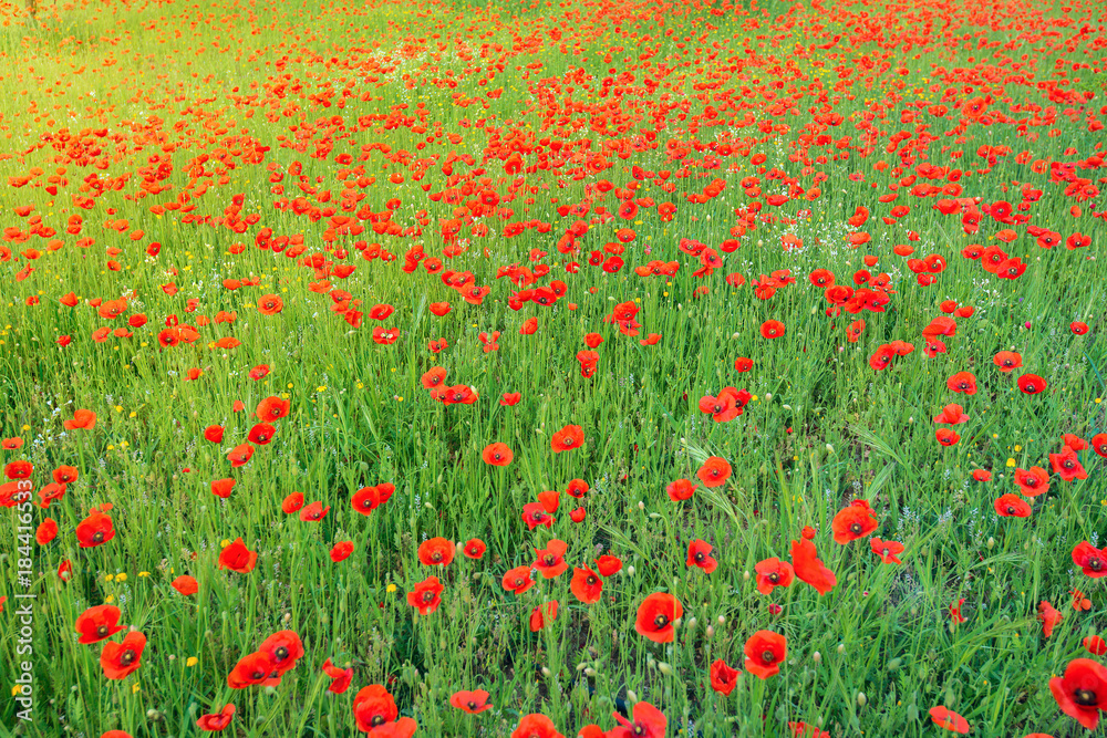 Green meadow, covered with wild blooming poppies