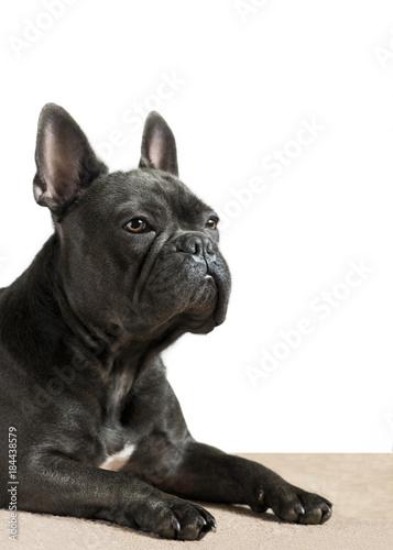 Foto op Plexiglas Franse bulldog blue french bulldog