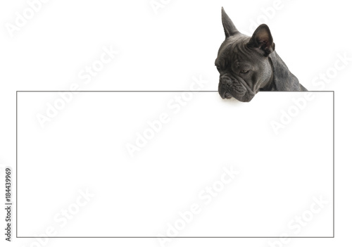 Foto op Plexiglas Franse bulldog french bulldog looking over sign,