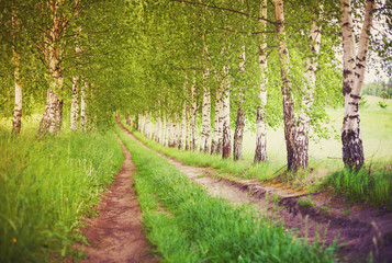 FototapetaAlley of green birches at sunrise