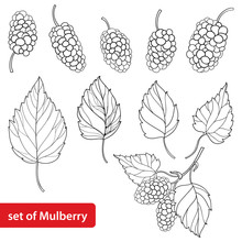 Vector Set With Outline Mulberry Or Morus, Bunch, Ripe Berry And Leaves In Black Isolated On White Background. Drawing Of Mulberry In Contour Style For Summer Design And Coloring Book.