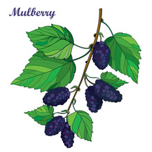 Vector Branch With Outline Mulberry Or Morus With Ripe Black Berry And Green Leaves Isolated On White Background. Drawing Of Mulberry Bunch In Contour Style For Summer Design And Fresh Fruit Menu.