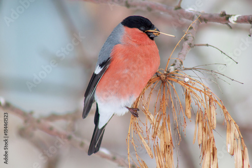 Cute bullfinch is eating the seeds of a tree. Animals wildlife. Wallpaper Mural