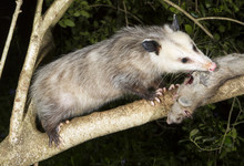 Virginia Opossum Eating Dead S...