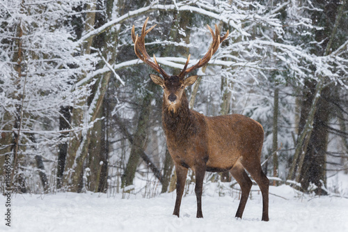 Poster Taupe Let it snow: Red Deer Stag (Cervus Elaphus) With Great Horns Stands And Looks At You Against A Snowy Forest And Snowflakes. Red Deer ( Cervidae ) During A Heavy Snowfall. Deer And Snowflakes