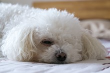Bichon Dog Sleeping On A Pillow