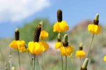 Yellow Prairie Coneflowers - F...