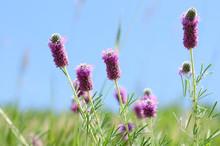 Wildflowers Of Colorado  - Pur...
