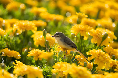 Photo Plain Prinia or White-browed Prinia or Prinia inornata, Small bird on marigold flowers