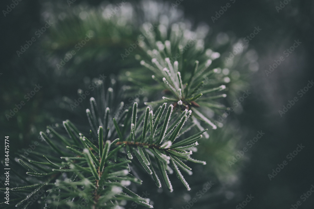 Close up of a frozen pine tree branch