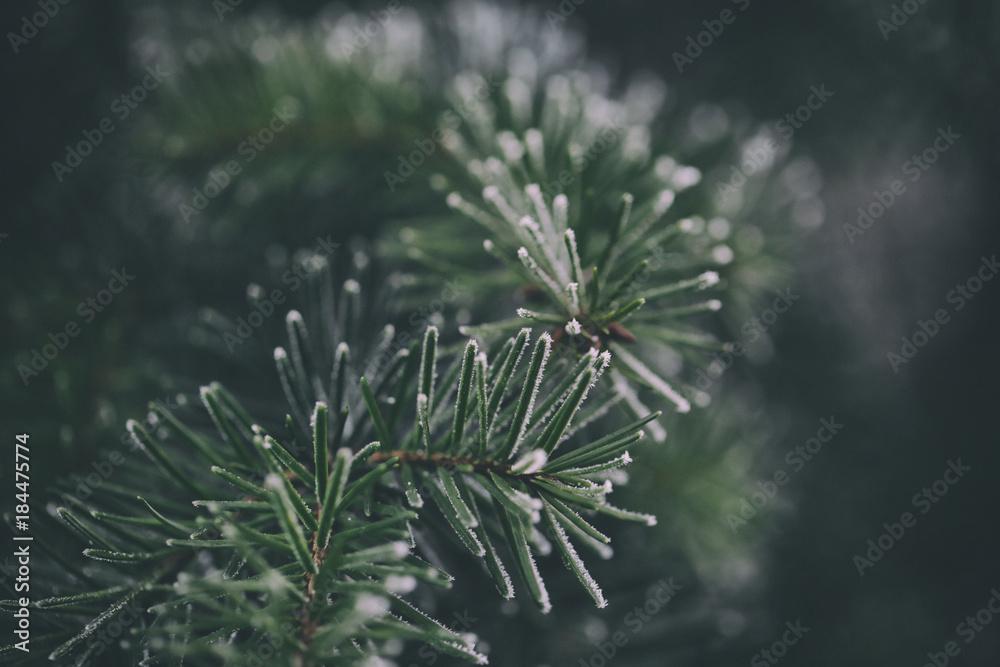 Fototapety, obrazy: Close up of a frozen pine tree branch