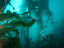 Mysterious Kelp Forest