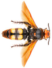 The Mammoth Wasp Megascolia Ma...