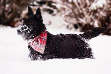 Young Scottish Terrier Dog Enj...