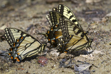 A Group Of Tiger Swallowtail Butterflies (Papilio Glaucas) Licking Wet Mud At A Lake Bank (Georgia; USA).