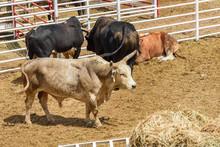Rodeo Bulls In A Pen Waiting T...