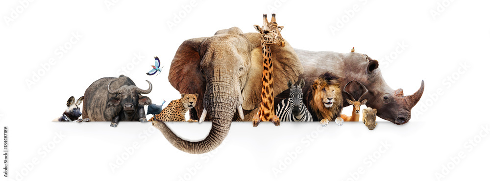 Fototapety, obrazy: Safari Animals Hanging Over White Banner