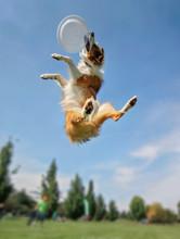 An Australian Shepherd Collie ...