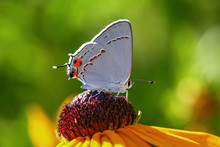 A Pretty Gray Hairstreak Butterfly Sipping Nectar From A Flower