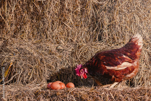 Foto The lifestyle of the farm in the countryside, hens are hatching eggs on a pile of straw in rural farms, fresh eggs from the farm in the countryside