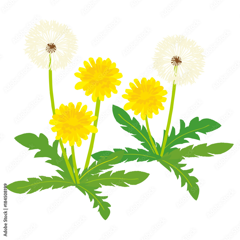 Dandelion ilustracja <span>plik: #184508199 | autor: perori</span>