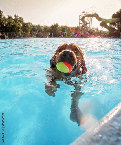 Tablou Canvas a cute dog playing at a public pool and having a good time during the summer vac