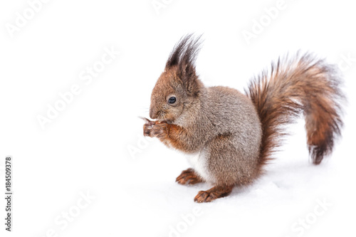 Poster Squirrel squirrel with fluffy tail sitting on snowy ground in winter and eating nut